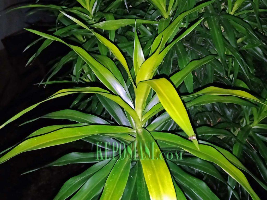 khasiat daun suji - ada manfaat daun suji untuk kecantikan