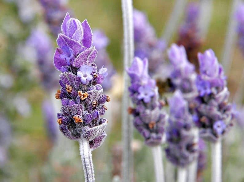 Tahukah Kamu Ada 17 Manfaat Bunga Lavender Untuk Kesehatan