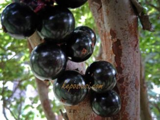 buah anggur batang brazil - keposiasi - 3