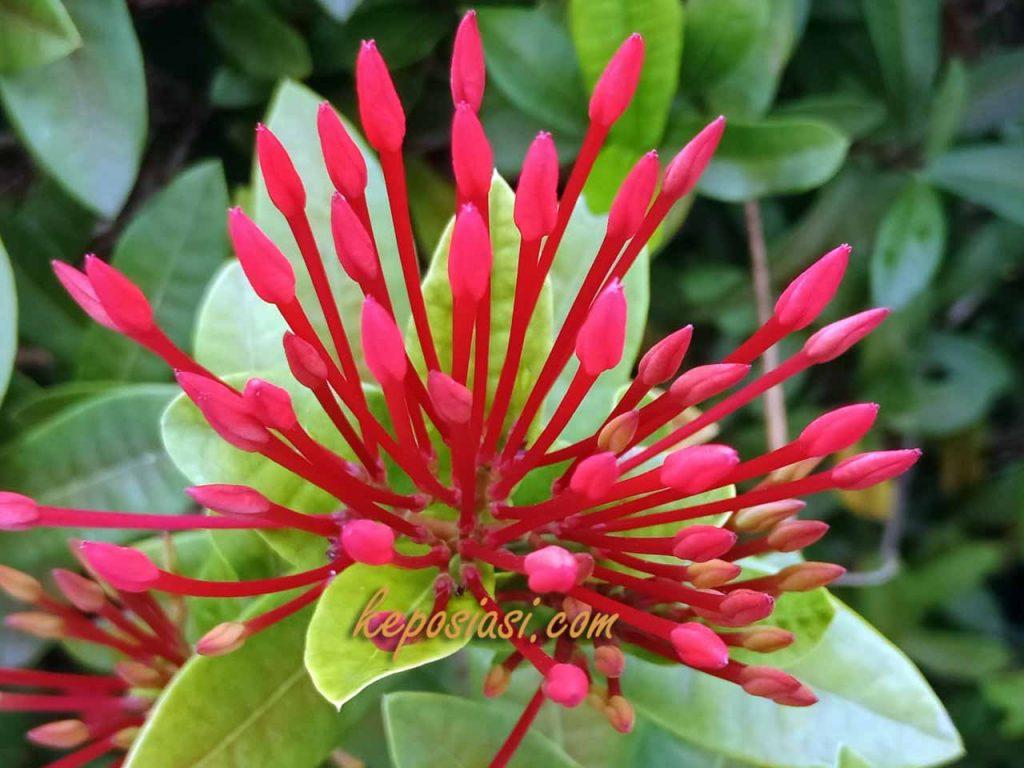 Bunga Asoka - Keposiasi com - 8 .jpg