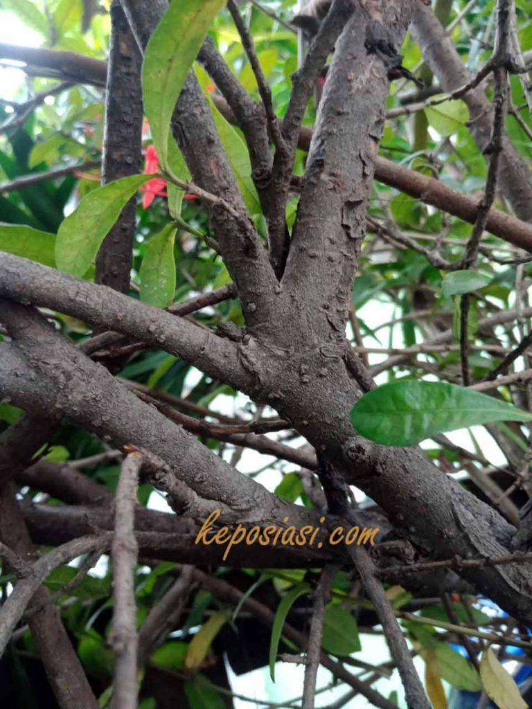 Gambar Batang Asoka - Keposiasi com