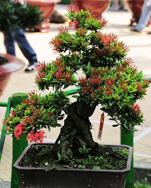 Gambar Bonsai Bunga Asoka