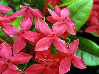 Gambar Bunga Asoka Merah - Keposiasi com