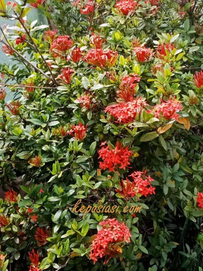 Gambar Pohon Asoka - Keposiasi com