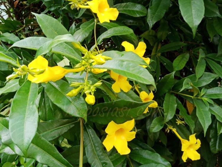 Bunga Alamanda - tanaman alamanda - Keposiasi.com - yopiefranz