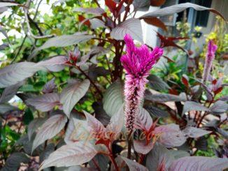 Bunga Celosia - Bunga Jengger Ayam - keposiasi.com - yopiefranz - 5