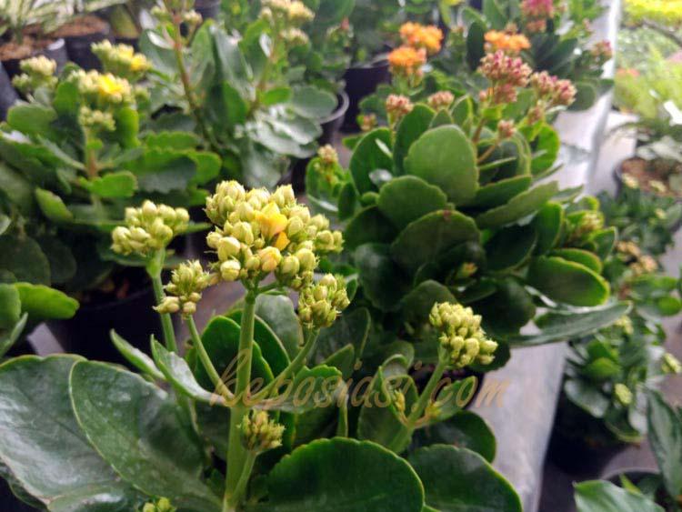 Bunga Kalanchoe - Kembang Cocor Bebek - keposiasi.com - yopiefranz - 3