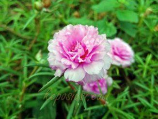 Bunga Krokot - Bunga Pukul Sembilan - keposiasi.com - Yopie Pangkey - 1