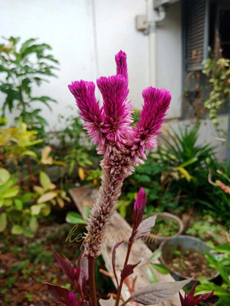 Foto Gambar Bunga Celosia - Bunga Jengger Ayam - keposiasi.com - yopiefranz - 3