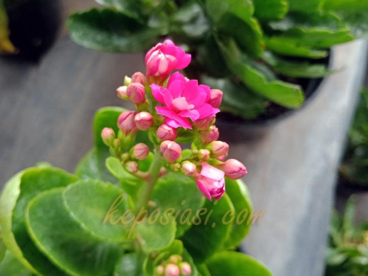 Foto Gambar Bunga Kalanchoe blossfeldiana - Kembang Cocor Bebek - keposiasi.com - yopiefranz - 1