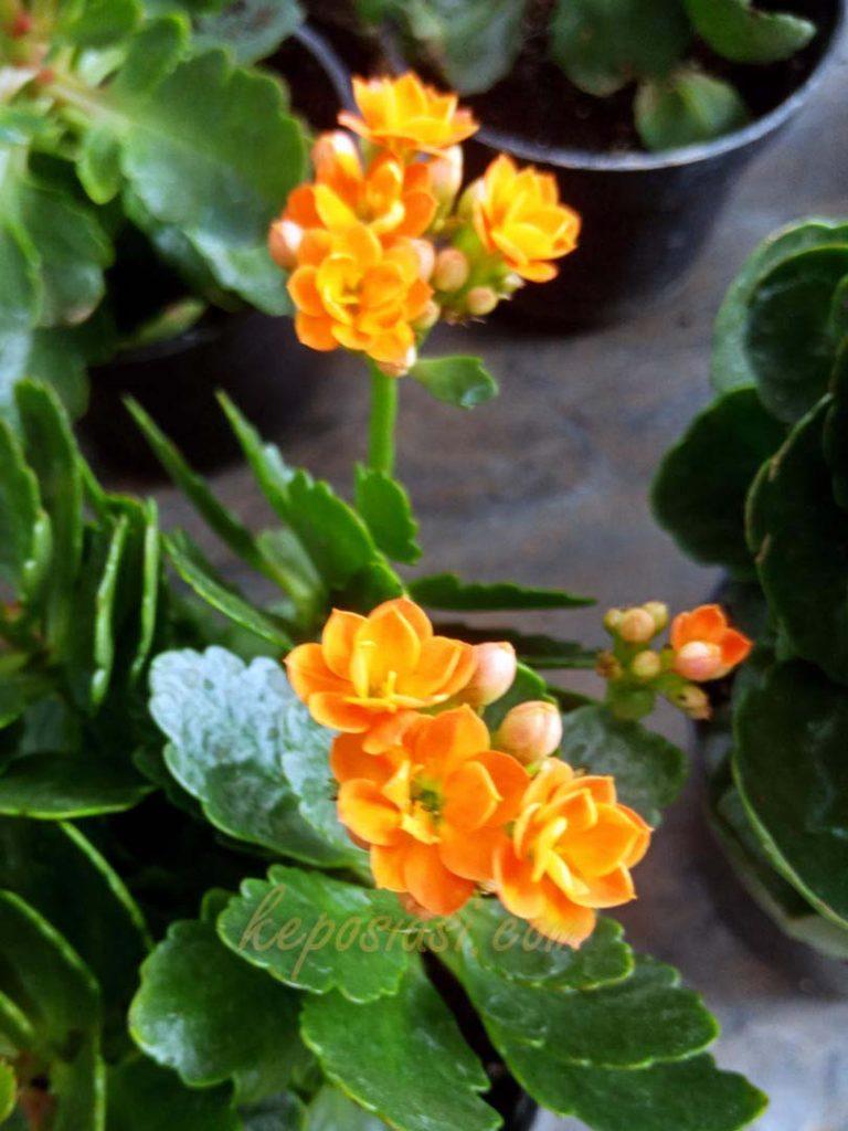 Foto Gambar Bunga Kalanchoe blossfeldiana - Kembang Cocor Bebek - keposiasi.com - yopiefranz - 5