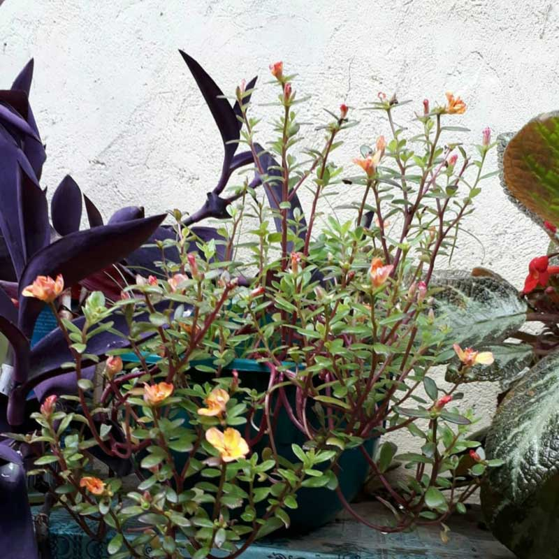 Foto Gambar Bunga Moss Rose - keposiasi.com - @daliessiangadi  - 4