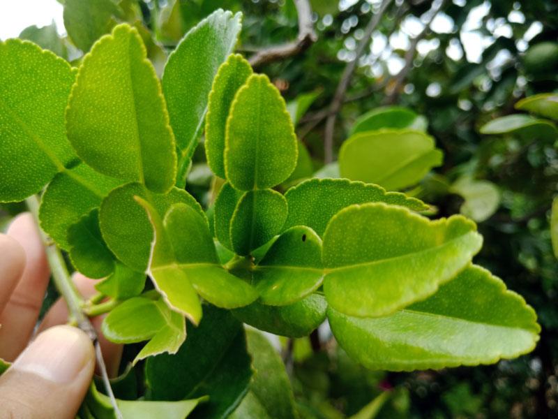 Foto Gambar Daun Jeruk Purut - Limau Purut - keposiasi.com - Yopie Pangkey - 5