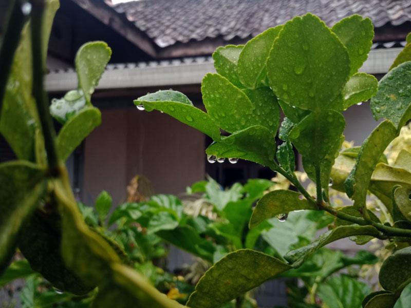 Khasiat Manfaat Daun Jeruk Purut - Limau Purut - untuk kesehatan dan kecantikan - keposiasi.com - Yopie Pangkey - 2