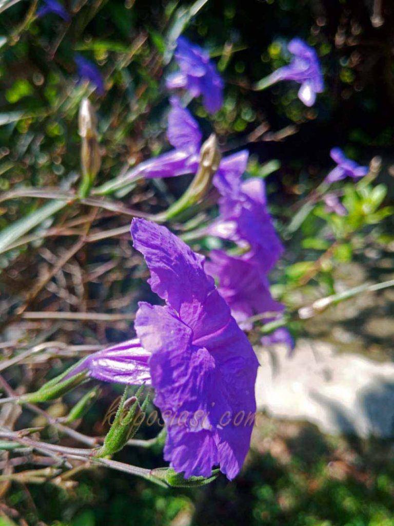 Cara menanam bunga kencana ungu - tanaman bunga ruellia pletekan - keposiasi.com - yopie pangkey -2