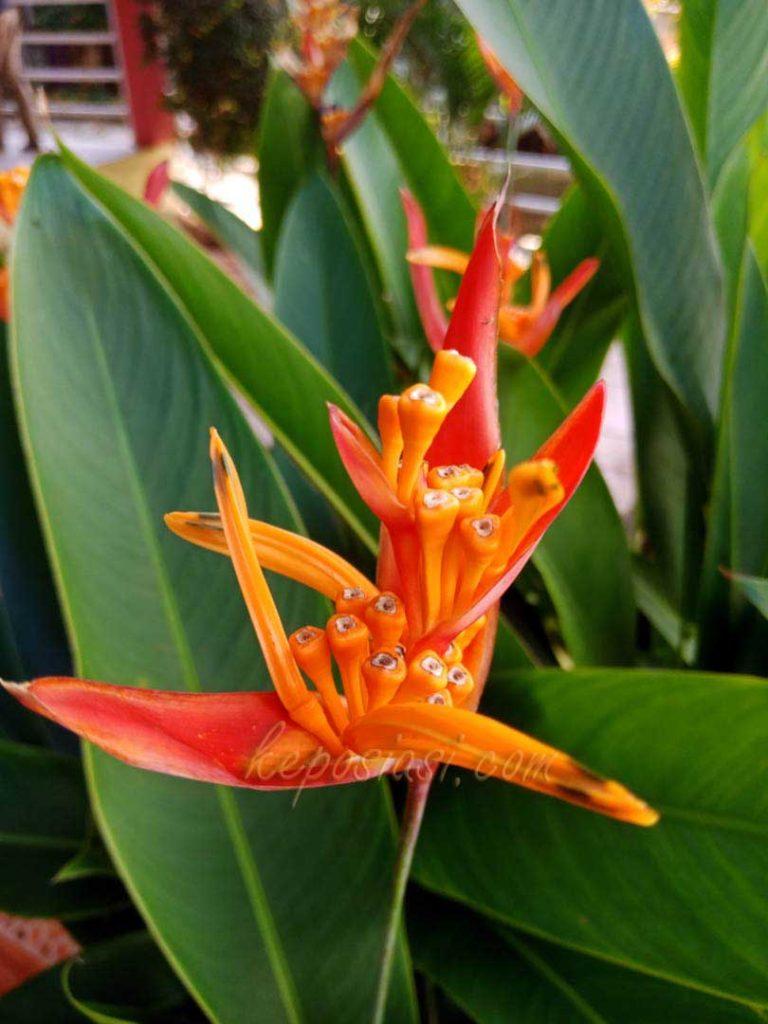 Foto Gambar bunga heliconia - tanaman hias pisang pisangan - keposiasi.com - yopie pangkey - 1