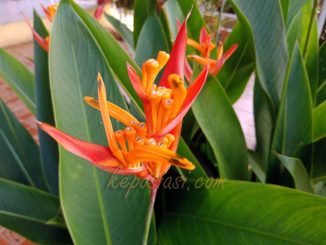 Foto Gambar bunga heliconia - tanaman hias pisang pisangan - keposiasi.com - yopie pangkey - 2