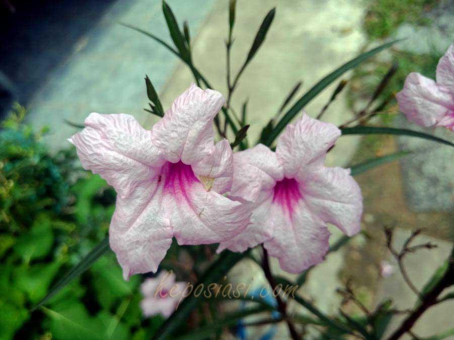 Foto Gambar bunga kencana ungu - tanaman bunga ruellia pletekan - keposiasi.com - yopie pangkey -1