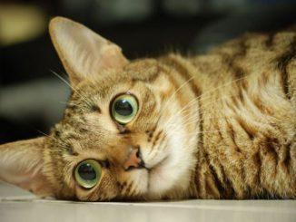 Kucing Sokoke- daftar nama hewan tanpa huruf A - gak pakai huruf A - tidak memakai mengandung huruf A - catsprocom - 3