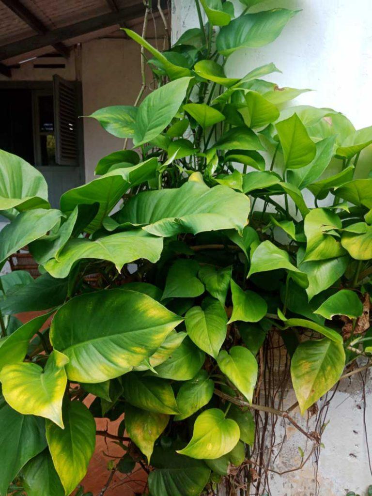 Foto Gambar Tanaman Daun Sirih Gading - keposiasi.com - yopiefranz - 2