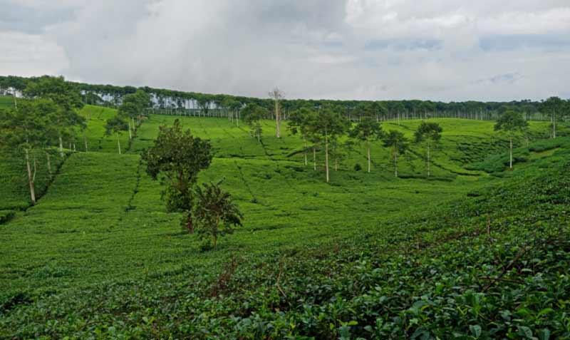 Kebun Teh Kabawetan - keposiasi.com - Yopie Pangkey - IMG20190721113412@