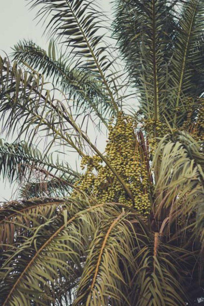 Foto gambar pohon kurma - ashkan forouzani - ms_CZDL3Iew-unsplash